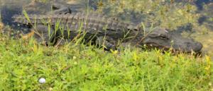 HaCo16 aligator-met-bal